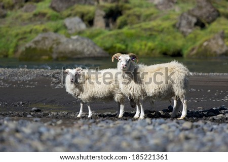 Typical icelandic sheeps standing near the mountain river on a sunny day, Iceland - stock photo