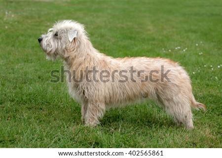 Typical  Irish Glen Terrier in the spring garden - stock photo