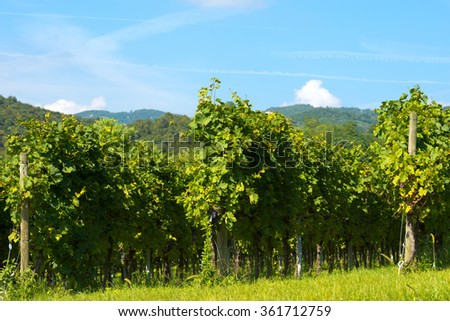 Typical Italian red grape vineyards at the base of the hill with blue sky / Typical Italian red grape vineyards at the base of the hill with blue sky - stock photo