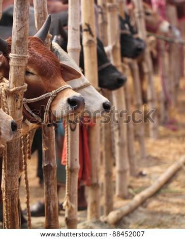 Typical Kurbani Cattle Market in Bangladesh - stock photo