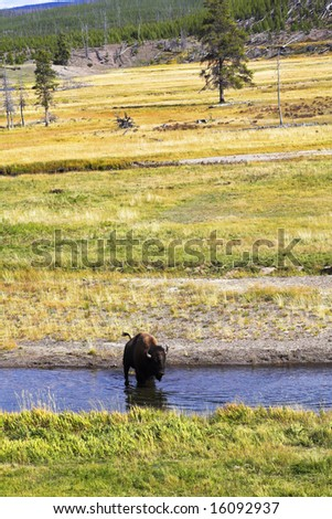 Typical landscape in Yellowstone national park. A bison on a watering place - stock photo