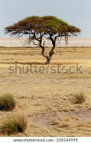 Typical large Acacia tree in the open savanna plains of East Africa, Etosha, Namibia - stock photo