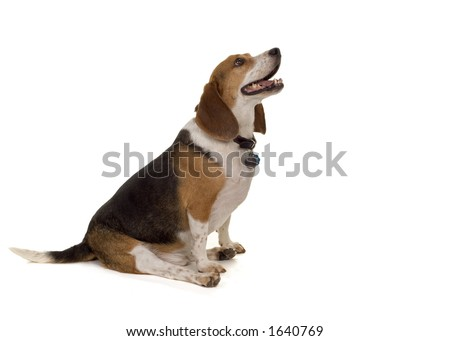 typical pet beagle - male - stock photo
