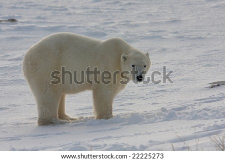 Typical polar bear stance looking at the camera with suspicion - stock photo