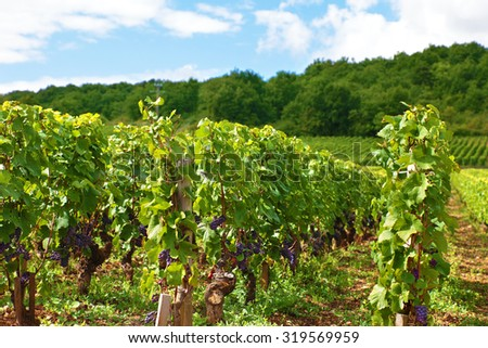 Typical red wine vineyard in France - stock photo
