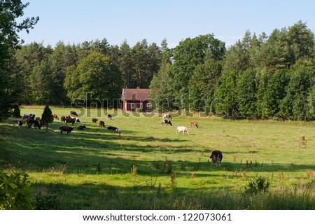 Typical red wooden house in southern Sweden surrounded by meadows with cattle