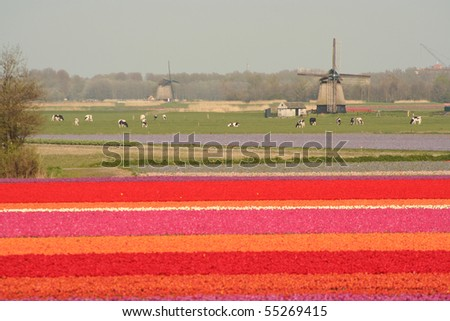 Typical spring dutch landscape with tulip fields and a windmill - stock photo