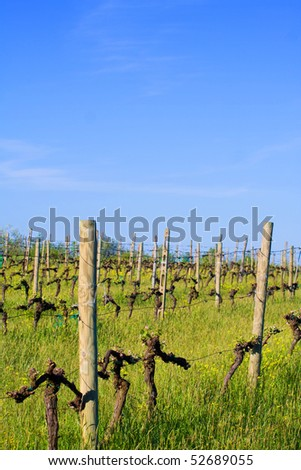 Typical Tuscany landscape - vineyard in spring (Val d' Orcia).