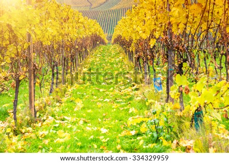Typical vineyard meadows in autumn season in Remich, Luxembourg