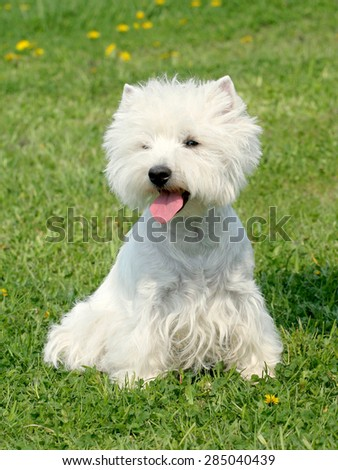 Typical West Highland White Terrier on a green grass lawn - stock photo