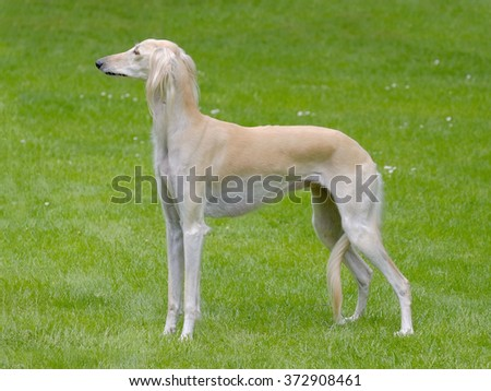 Typical  white Saluki dog in the spring garden - stock photo