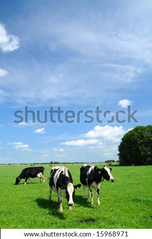 Typically dutch scenery with grazing livestock. - stock photo