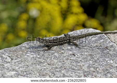 Tyrrhenian Wall Lizard (Padarcis tiliguerta) on a wall in Corsica, France, Europe - stock photo
