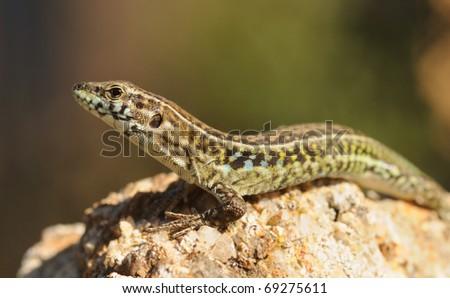 Tyrrhenian Wall Lizard (Podarcis tiliguerta) - stock photo