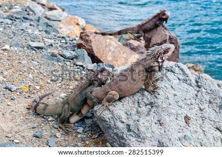 U.S. Virgin Islands, St. Thomas: Marine Iguanas - stock photo