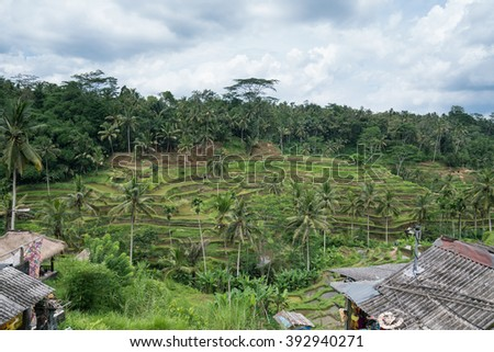 UBUD, BALI - MARCH 14, 2016: Tegalalang terraced rice fields is a major tourist destination. Many souvenir shops and restaurants had sprouted beside it to cater for increasing numbers of tourists.