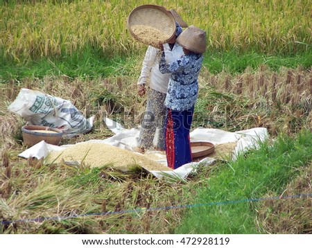 UBUD, INDONESIA - CIRCA MARCH 2008: Balinese people harvesting rice