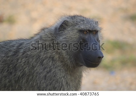 Uganda Baboon - stock photo