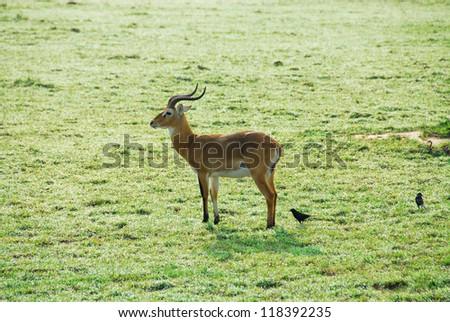 Uganda Kob, Murchison Falls National Park (Uganda) - stock photo