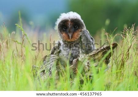 Ugly baby owl Tyto alba - stock photo