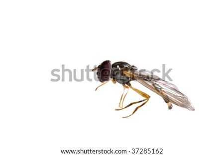 ugly black small macro fly isolated