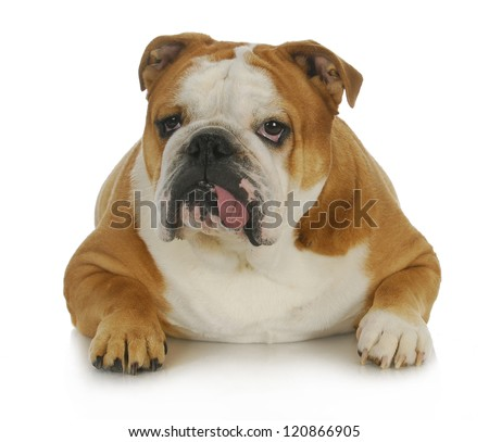 ugly dog - english bulldog with tongue sticking out laying down on white background