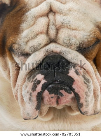 ugly dog - wrinkled english bulldog face with sour looking expression - stock photo