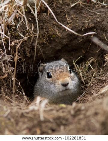 Uinta ground squirrel in his den - stock photo