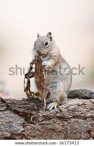 Uintah Chipmunk (lat. Eutamius umbrinus ) in Bryce Canyon National Park eating a peace of bark.