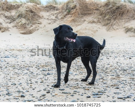 UK - April 2017: Dogs playing at the beach
