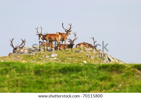 UK Scotland Scottish highlands herd of Red deer stags - stock photo
