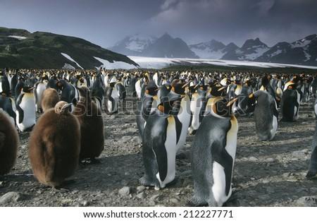UK, South Georgia Island, colony of King Penguins - stock photo