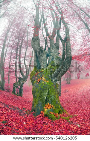 Ukraine, beech forest in the Carpathian Mountains in Transcarpathia autumn morning after the rain covered with a dense fog. The ancient beeches draw beautiful pattern mossy trunk in haze