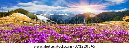 Ukraine, wild Montenegrin Mountains on the background of alpine sheep pasture in early spring in March, covered with a thick carpet of lush fantastically beautiful flowers pervotsvetov crocus, saffron - stock photo