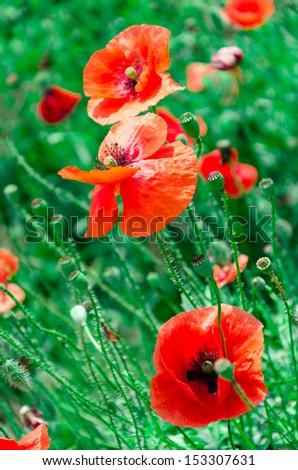 Ukrainian poppy field - stock photo
