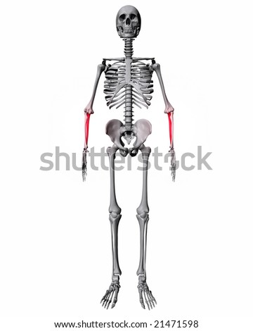 Ulna Highlighted Red On Skeleton Isolated On White