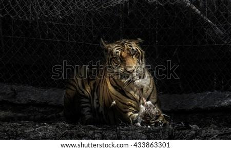 Ultimate Aggressive Tiger Killing Prey in the Zoo Cage - stock photo