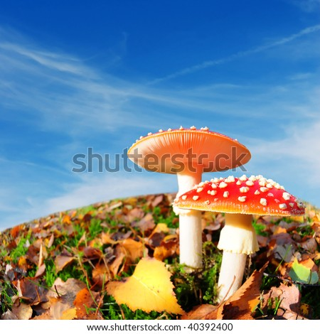 ultimate autumn background with red mushrooms and square blue sky - stock photo