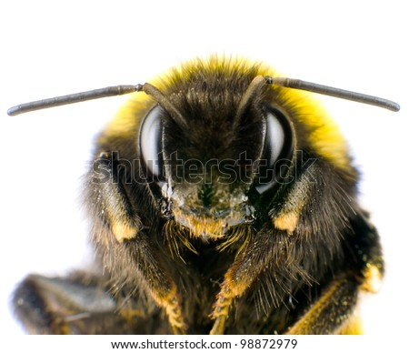 Ultra Macro of Bumblebee Head with Antennas Isolated on White Background - stock photo