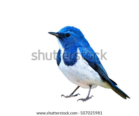 Ultramarine Flycatcher (superciliaris ficedula) beautiful blue bird with white belly isolated on white background, fascinated creature
