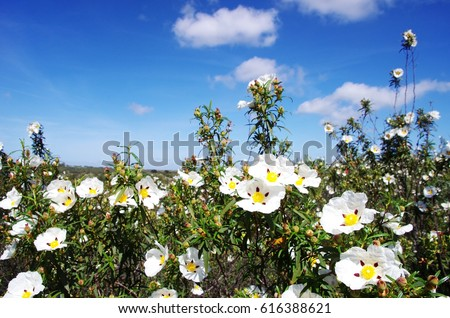 um rockroses - Cistus ladanifer in field at Portugal