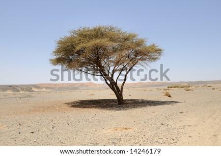 umbellate acacia in Arabian Desert, Egypt, Africa. - stock photo