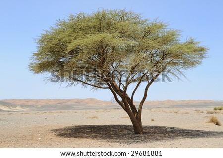 umbellate acacia in Arabian Desert, Egypt, Africa. - stock photo