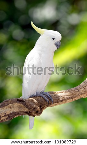 umbrella cockatoo perch on branches over nature background - stock photo