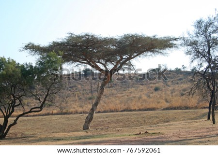 UMBRELLA SHAPED TREE WITH FLAT TOP