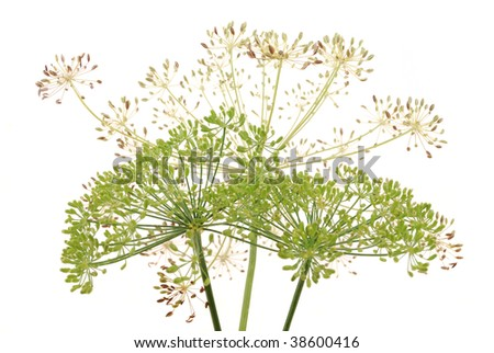 Umbrellas of fennel with seeds on a white background - stock photo