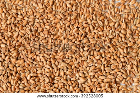 Uncooked wheat grain seeds close up shot