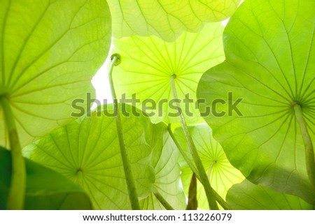 Under the leave of lotus - stock photo