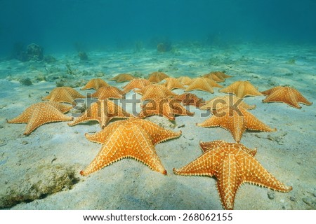 Under the sea on sandy seabed with a group of starfish in the Caribbean, Panama, Central America - stock photo