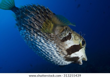 UNDER VIEW OF PORCUPINE FISH SWIMMING IN CLEAR WATER CORAL REEF - stock photo